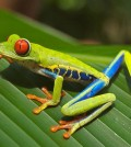 Red_eyed_tree_frog_edit2