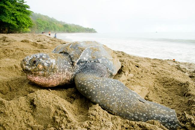 A leatherback turtle camouflages her nest on Trinidad's Grand Riviere beach. (© Rod Mast)