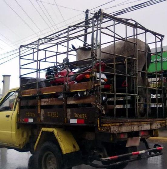Costa-Rica-Live-Animal-and-Motorcycle-Transport