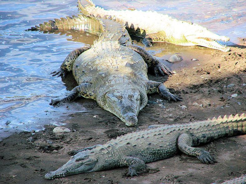 800px-American_Crocodile,_Costa_Rica
