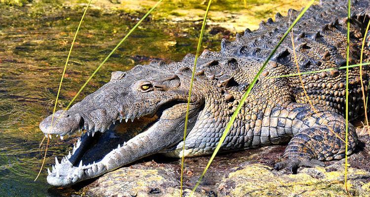 American_Crocodile_in_Jamaica