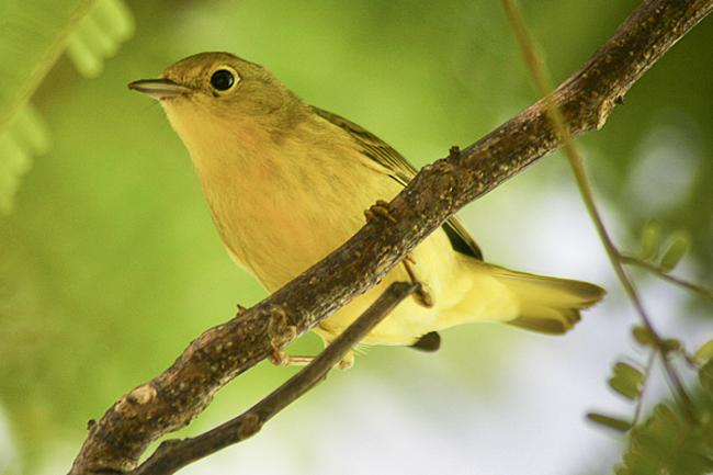 The yellow warbler can be found in Costa Rica plantations eating the coffee borer beetle. Image credit: Daniel Karp