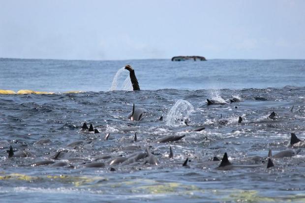 dolphinsspinner