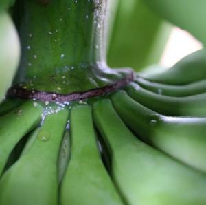 Escamas_banano_1-1
