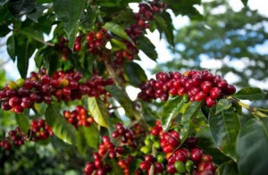 coffee_beans.jpg1385580110
