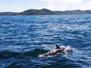 It's common to see spotted dolphins in the Gulf of Papagayo, especially during the dry season, which lasts from December to April, according to biologist Álvaro Morales of the Sea and Limnology Research Center (CIMAR) at the University of Costa Rica (UCR). (Mario Garita for Infosurhoy.com)