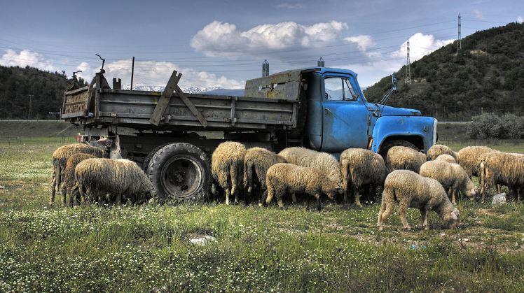 9c382520-b38e-11e3-a086-43dfb989479c_truck-sheep