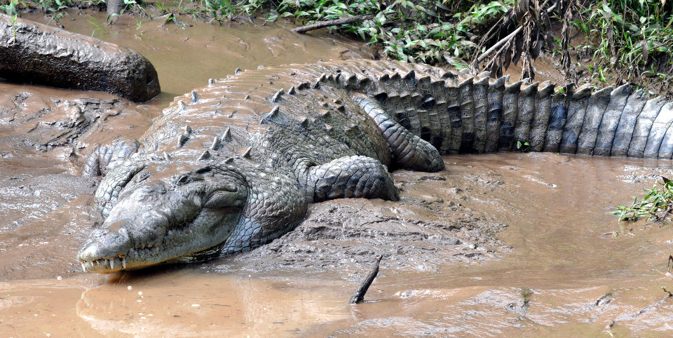 american-croc-960