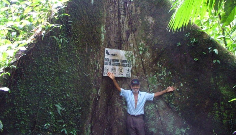 A large tree in an FSC certified forest under FUNDECOR's support.