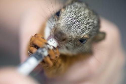 A nurse at the Simon Bolivar Zoo's veterinary surgery gives a medicine to a squirrel in San Jose on August 28, 2014, Costa Rica A nurse at the Simon Bolivar Zoo's veterinary surgery gives a medicine to a squirrel in San Jose on August 28, 2014, Costa Rica