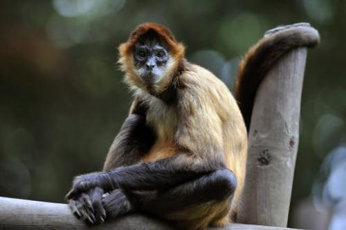 A Spider Monkey sits in an enclosure at the Simon Bolivar Zoo in San Jose, Costa Rica.