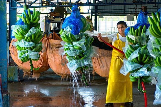 Washing Freshly Picked Bananas At A Banana Factory In Costa Rica