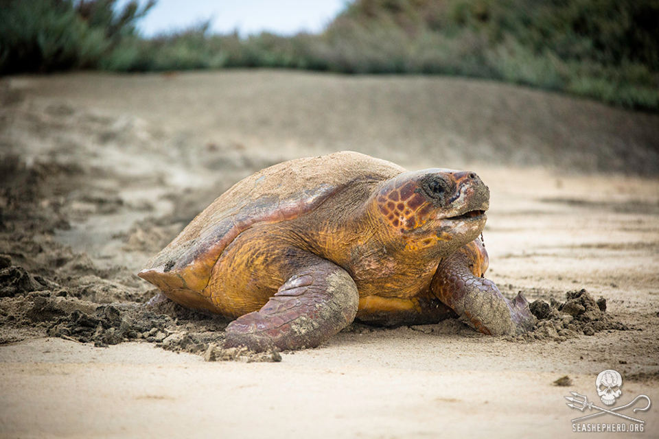 A loggerhead sea turtle heads back to the ocean after laying her eggs. Photo: Sea Shepherd / Simon Ager