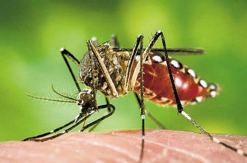 Aedes_aegyptijpg