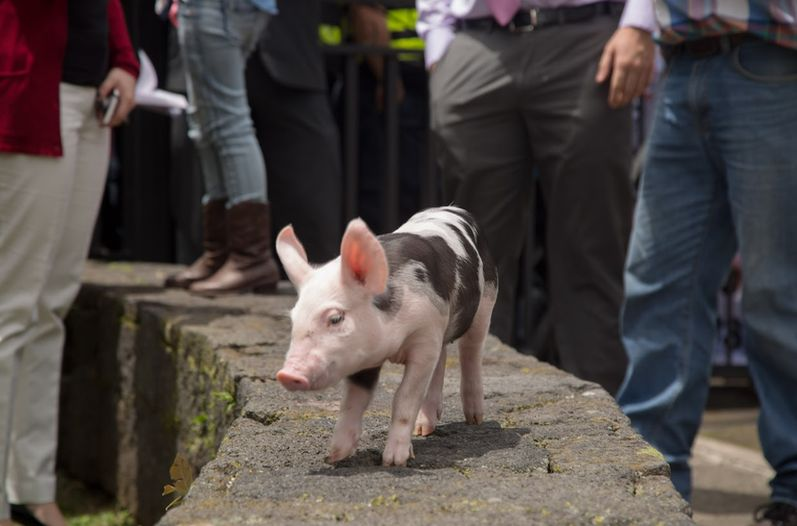 """""""Daniela"""" was gifted to President Luis Guillermo Solis on Tuesday by protesting pig farmers"""