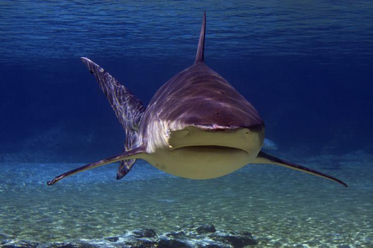 full-bull-shark-bat-islands-isla murcielago