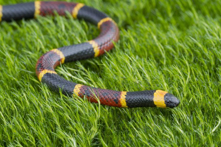 full-coral-snake