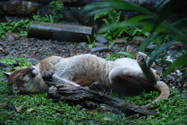 full-costa-rica-puma