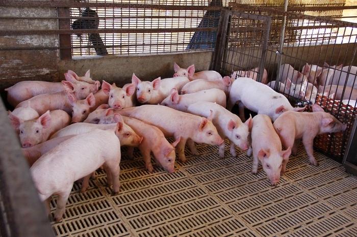 porcicultores