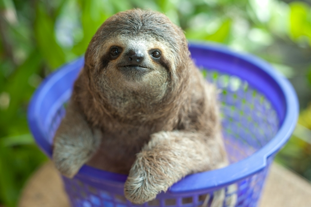 Sloth-baby-being-weighed-in-plastic-basket-Costa-Rica-Credit-Sam-Trull-2014