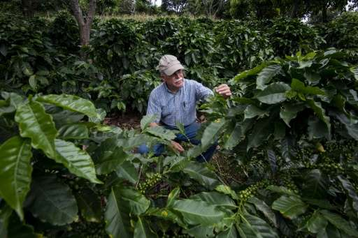 Coffee producer Adrian Hernandez inspects the crop on his farm Altamira, in Barva Heredia, Heredia, on August 25, 2015 Read more at: http://phys.org/news/2015-09-centram-coffee-growers-struggle-climate.html#jCp