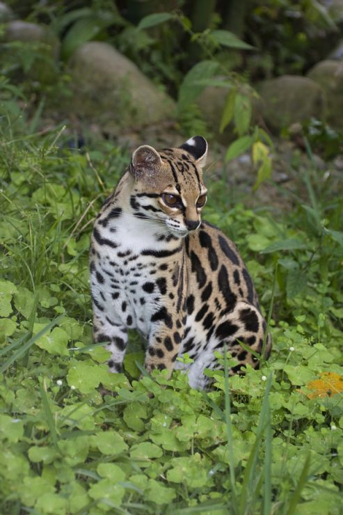 Margay (Leopardus wiedii) in a field in Monteverde