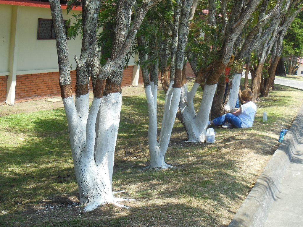 Greatest Why Do They Paint Some Tree Trunks White At The Bottom? | Q Costa Rica NW51