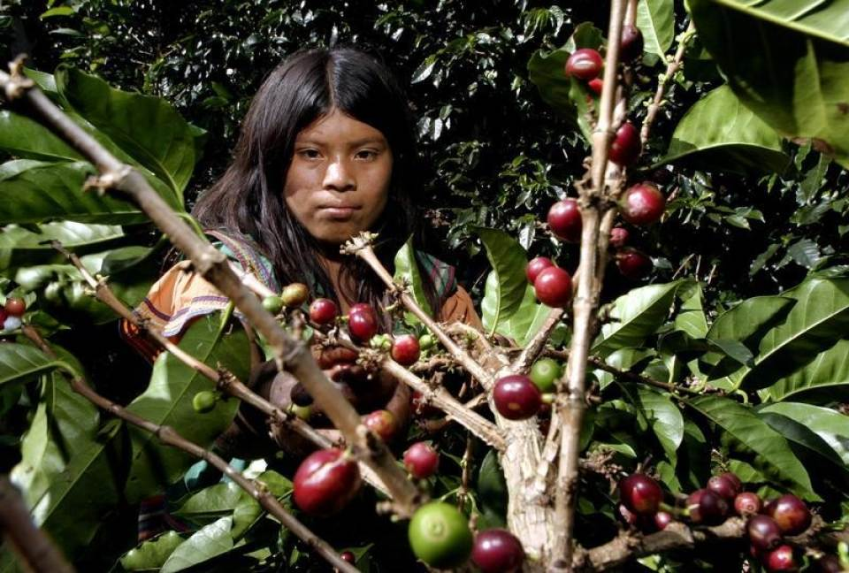 In this 2004 file photo, an indigenous Panamain Guaymi, 13-year-old Celia Montero, harvests coffee at a plantation in Cirri de Naranjo, 40 miles the north of San Jose. REUTERS/Juan Carlos Ulate JCU