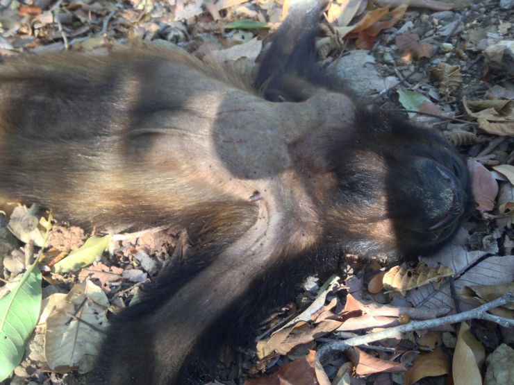 Photo courtesy Paso Pacifico. A dead howler monkey found in the woods in southern Nicaragua.