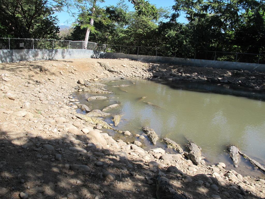 aqua-tilapia-farm-crocodiles-3