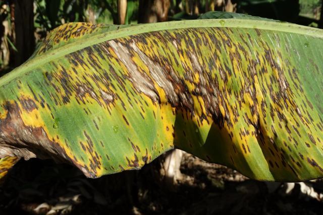 Banana: Black leaf streak (black Sigatoka)