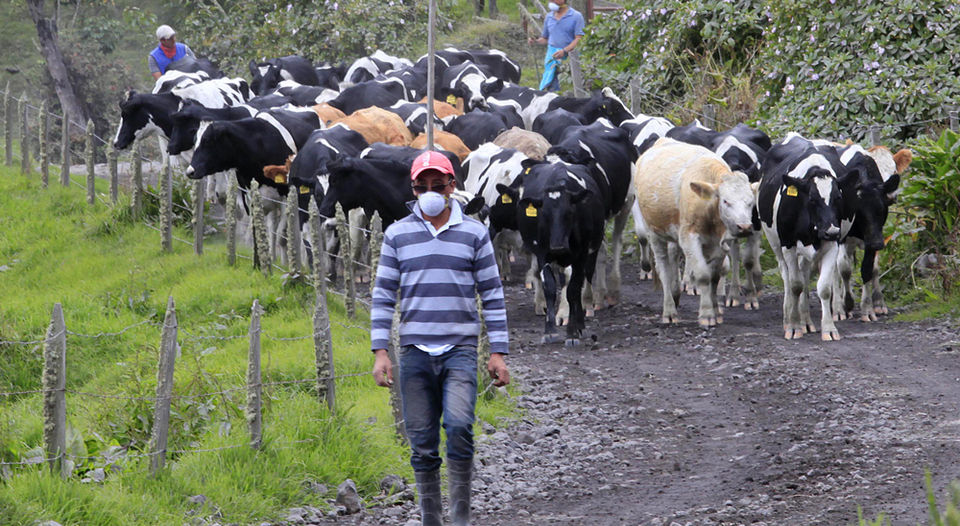 Adolfo Carvajal, a resident of San Gerardo de Irazu, found the cattle that is responsible in poor condition. The cows had their eyes and nostrils with ash. They were hungry because they could not eat the grass and water covered with ash. | RAFAEL PACHECO.