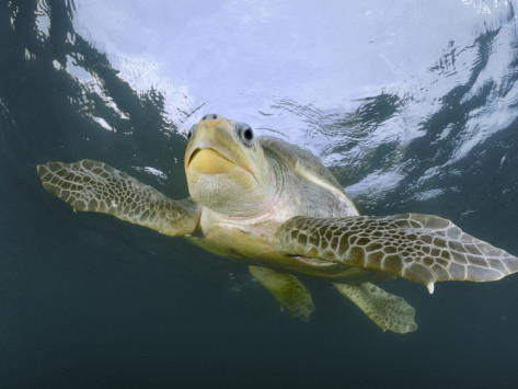 turtle-olive-ridley-swmming