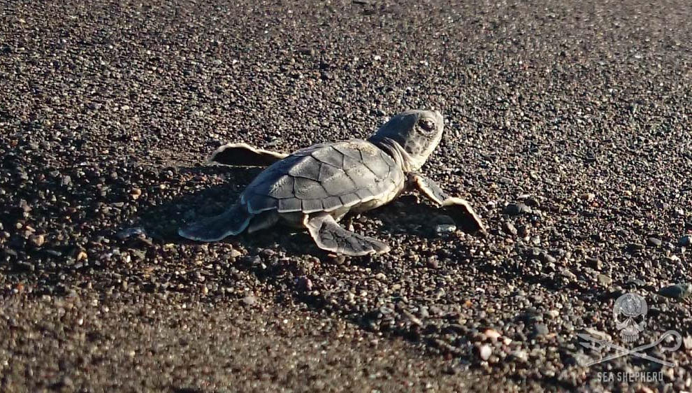 baby sea turtle trying to make it to the sea. Photo from Sea Sheperd website