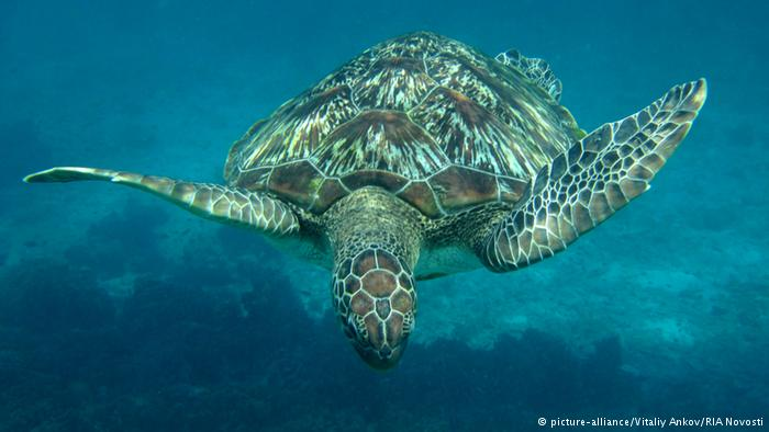 Sea turtles in many parts of the world face many threats and are regarded as endangered
