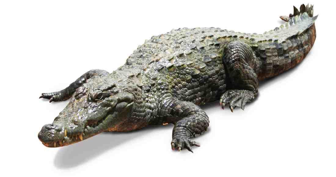 Crocodile That Scared Tamarindo Tourists Moved to Nicoya Wildlife Area